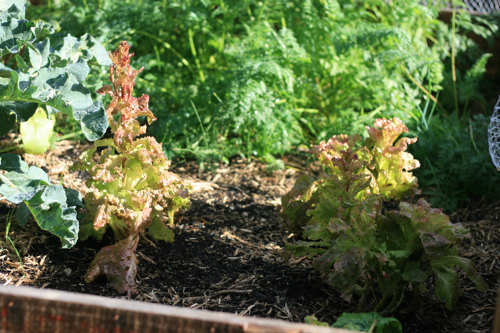the lettuces bolted
