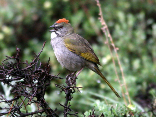 Green-tailed Towhee 5-20100615