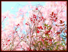 Red berries against pink cherry blossoms and blue sky in Arashiyama Japan (Hopeisland) Tags: pink flowers blue trees red sky baby plant tree nature japan cherry spring berry kyoto blossoms arashiyama april sakura cherryblossoms colourful 2010      4   colorphotoaward