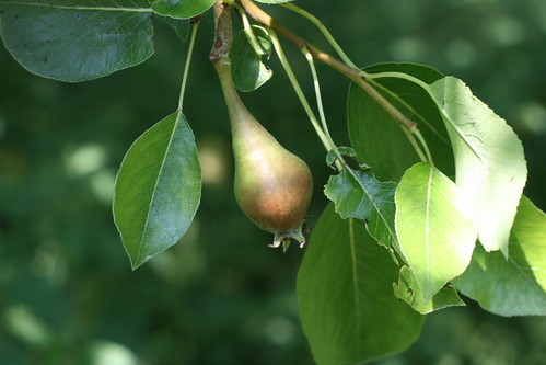 First pear sighting
