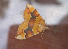 Barred Yellow (Katie Fuller @bogbumper) Tags: garden moth mothtrapping barredyellow cidariafulvata