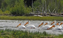 White Pelicans on the River (GingerP43) Tags: bird pelicans water birds river rivers snakeriver raft wyoming grandtetonnationalpark floattrip whitepelicans