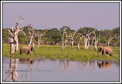 """""""That's not you Bert is it, from back in theTsunami days?...well I never!"""" (One more shot Rog) Tags: trees two elephant asian meeting safari lanka national swamp elephants meet aliya enco"""