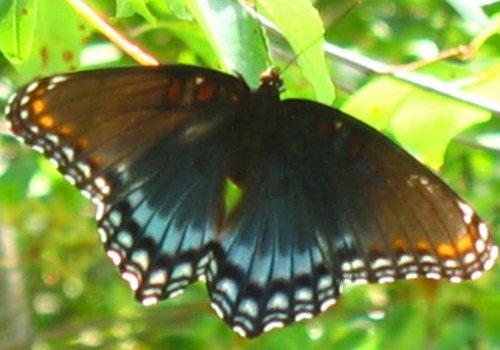 resize nat note last seas butterfly