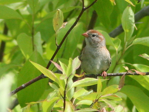 Field Sparrow SOOC cropped 2-20100705