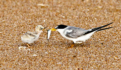 Feeding Moment (minds-eye) Tags: baby fish bird beach nature feeding florida tern leasttern