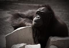 Smile for Life .. (   Moaiad Almazroa . . .) Tags: smile photography zoo monkey wildlife صورة تصوير ابتسامة مؤيد يالبى المزروع خجوولة