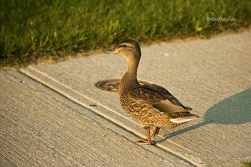 quack! day 187 (13)
