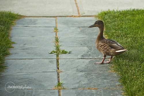 quack! day 187 (1)