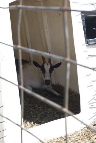 canada goat