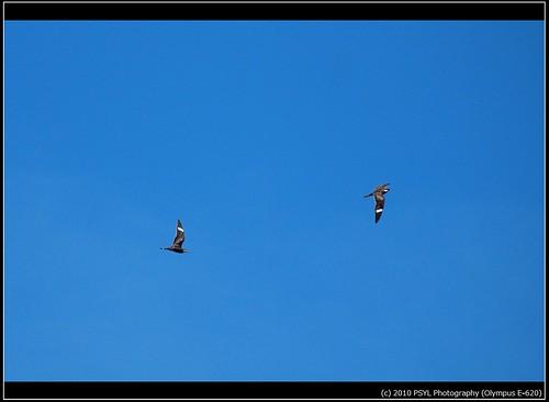 Common Nighthawks (Chordeiles minor)