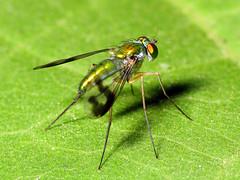 Longlegged Fly Day Friday (zxgirl) Tags: bug insect fly metallic flash insects bugs flies longleggedfly arthropods arthropoda s5 arthropod diptera insecta dcr250 raynox dolichopodidae sciapodinae img5503 condylostylus brachycera orthorrhapha longleggedflies empidoidea