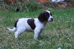 Jess (chrisgandy2001) Tags: dog cute english puppy spaniel springer springerspaniel doggy puppydog floppyears englishspringerspaniel englishspringer