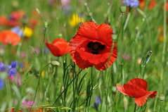 Coquelicot ~ Poppy (Michele*mp) Tags: park summer france color colors june grenoble rouge juin europe couleurs poppy wildflowers re t parc coquelicot meylan isre dauphin fleursdeschamps concordians michelemp