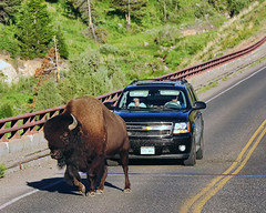 heavy traffic during morning rush hour in Yellowstone