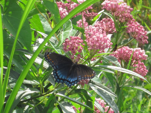 'Astyanax' Red-spotted Purple Butterfly-Fen Walk