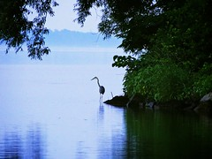 Early Morning Hunter (lynn.h.armstrong) Tags: morning blue trees mist ontario canada green art heron water leaves st fog river geotagged francis island photography early photo lawrence long flickr crane sony south hunting shoreline cybershot lynn h shore armstrong dsc stormont hunt gettyimages sault ingleside attributionnoderivs ccbynd hx1 dschx1 lynnharmstrong requesttolicense requesttolicence