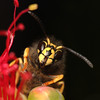 Wasp_edit (Pockets1) Tags: ireland black macro yellow canon bug insect eyes wasp cork small tiny antena stinger strips yellowjacket 2010 pinchers 150mm sigm 40d macrolife pockets1