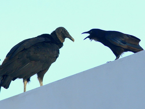 Fish Crow and Vulture 20100712