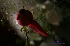 006 (Patricia Barcelos) Tags: flores branco contraluz cores rosa cu vermelho prdosol beleza luzes rosas inverno texturas branca janelas cachorra foco pausa fimdetarde desfoque vidros bichinhodeestimao ispirao patriciabarcelos patrciabarcelos