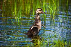 Duck (IBPhotographic) Tags: duck wings duckling quack babyduck thewonderfulworldofbirds