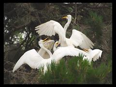 Hopeful Mom (MistyDays / CB) Tags: bird birds nest olympus chicks 70300mm avian rookery egrets greategrets charleneburge e520 ninthstreetrookery