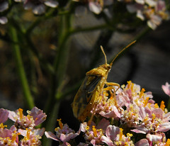 chinche ID (vega**) Tags: madrid wild flores flower macro animal bug insect vega insecto chinche salvaje