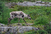 Just Browsing (WanderWorks) Tags: trees canada grass rock newfoundland woodland fur mammal bush labrador legs native deer caribou woodlandcaribou rangifertarandus rangifer tarandus dsc0961nc3g