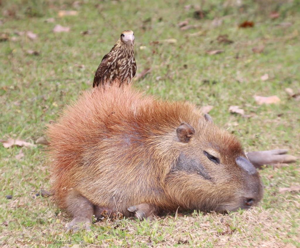 Série com um jovem Gaviăo-carrapateiro (Milvago chimachima) procurando parasitas no corpo da capivara - Series with a young Yellow-headed Caracara looking for parasites on the Capybara's body - 26-06-