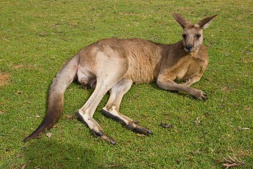A lazy kangaroo