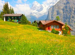 Spring in Murren (lovemyblackcat) Tags: flowers alps nature switzerland village meadow eiger yellowflowers flowerfield murren flowersfield nountain