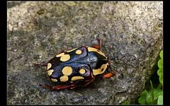 Cheirolasia burkei burkei (Mashku) Tags: insects beetles coleoptera scarabeidae cetoniidae cetoniini cetoniine