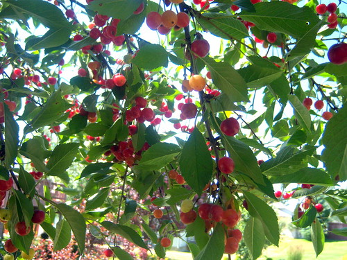 Picking cherries at Pam's