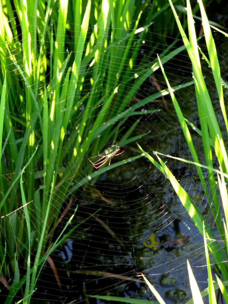 水田のクモ