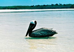 Pelican (PeterWard78) Tags: blue sea bird beach southamerica water ecuador pelican thegalpagosislands