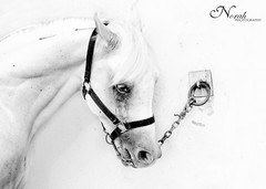 Sadness Horse (     ) Tags: horse white black photography sadness high key norah