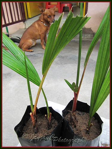 Cyrtostachys renda (Red Sealing Wax Palm, Lipstick/Rajah Palm): using suckers to propagate new plants. Shot 10 November 2009