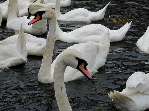Swans - Hamburg, Germany