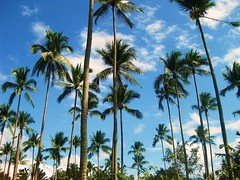 Coconut Trees (FlipMode79) Tags: blue clouds day philippines clear tropical hiddenvalley coconuttrees hcs regionwide blinkagain