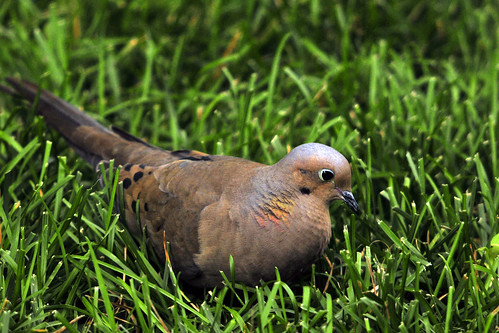 mourning dove sideview