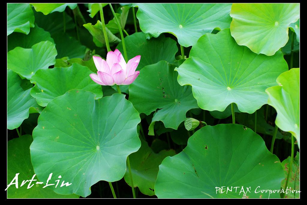 荷花 in 湖口長安 20100722