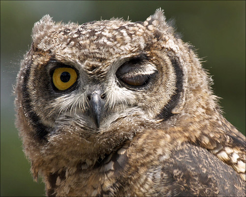 Winking Owl