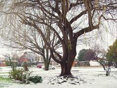 Granizo 2 (Shinodita) Tags: winter tree hail granizo rbol invierno temuco