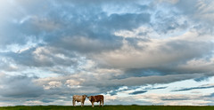 on top of the world (E.........'s Diary) Tags: scotland cow cattle cows fife collessie july2010