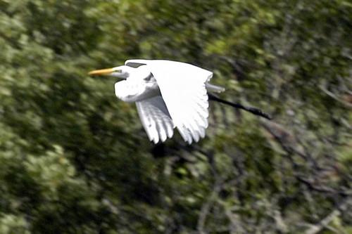 egret flying pocasset V