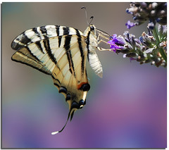 Profumi e sapori di lavanda (Nespyxel) Tags: nature butterfly bokeh lavender farfalla lavanda specanimal challengeyouwinner stefanoscarselli pleasedontusethisimageonwebsites blogsorothermediawithoutmyexplicitpermissionallrightsreserved