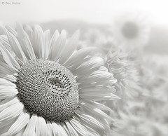In a Sunflower World (Ben Heine) Tags: camera light wallpaper sun white mist blur flower macro art texture love nature fleur monochrome beauty fog closeup composition print poster lens photography petals focus soft heaven poem dof shine calendar zoom pov earth lumire air horizon arts creative fresh sensual oxygen desire terre pollen conceptual breathe copyrights pure dreamer brouillard tender connection tournesol ecosystem fertile cs4 luminosity rve aquitaine ptales doux noyau exture saintvalentinesday beynacetcazenac petersquinn mywinners benheine flickrunited samsungnx10 infotheartisterycom inasunflowerworld daydreamsblossoms