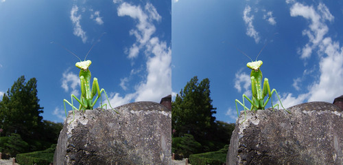 Hierodula patellifera, 3D parallel view