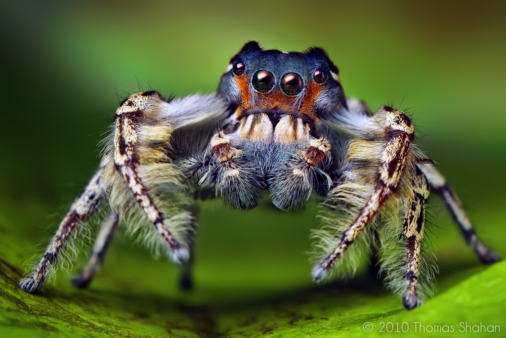 Spider close-up: Phidippus putnami Jumping Spider