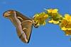 VITO'S BUTTERFLY (Siprico - Silvano) Tags: canon natura macros potofgold macrofotografia cernuscosulnaviglio macrofografia buzznbugz siprico fotografianaturalistica soloreflex samiacynthia pricoco silvanopricoco wwwpricocoorg httpwwwpricocoorg wwwfotografiamacrocom